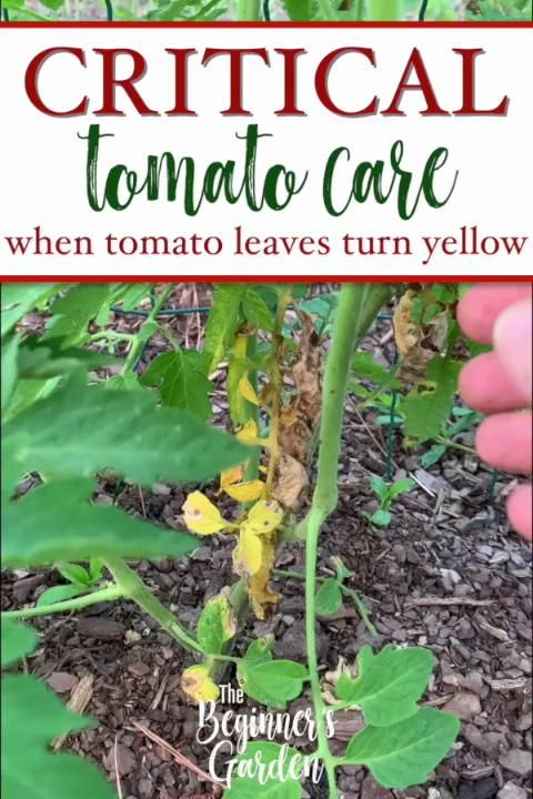 Photo of Yellow Leaves at the Bottom of Your Tomato Plants?