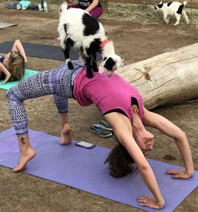 account suspended  goat yoga puppies yoga yoga images