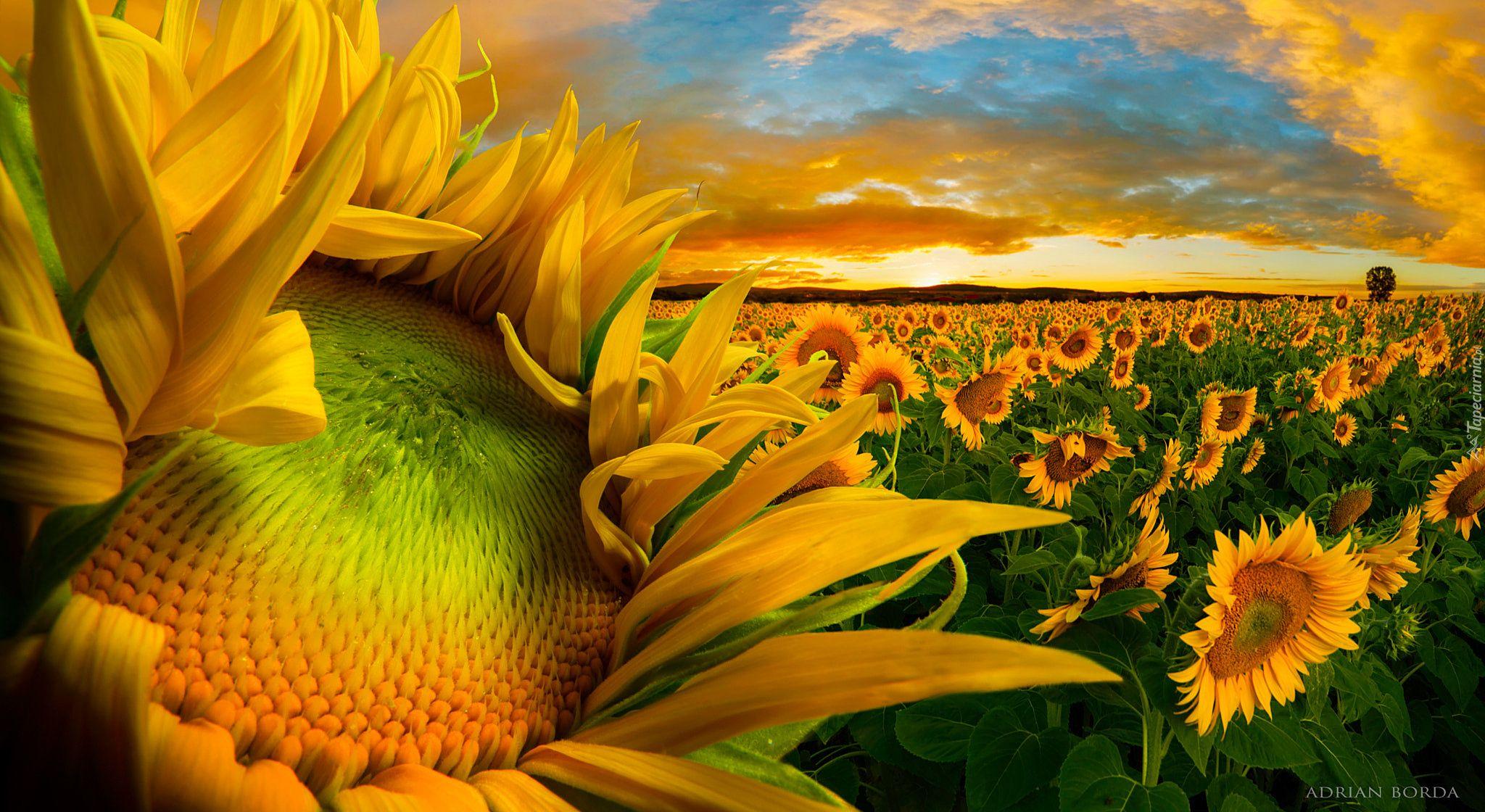 Sloneczniki Zachod Slonca Pole Chmury Cool Landscapes Sunflower Fields Landscape Photography