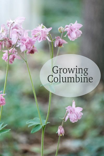Growing Columbine #shadeplantsperennial