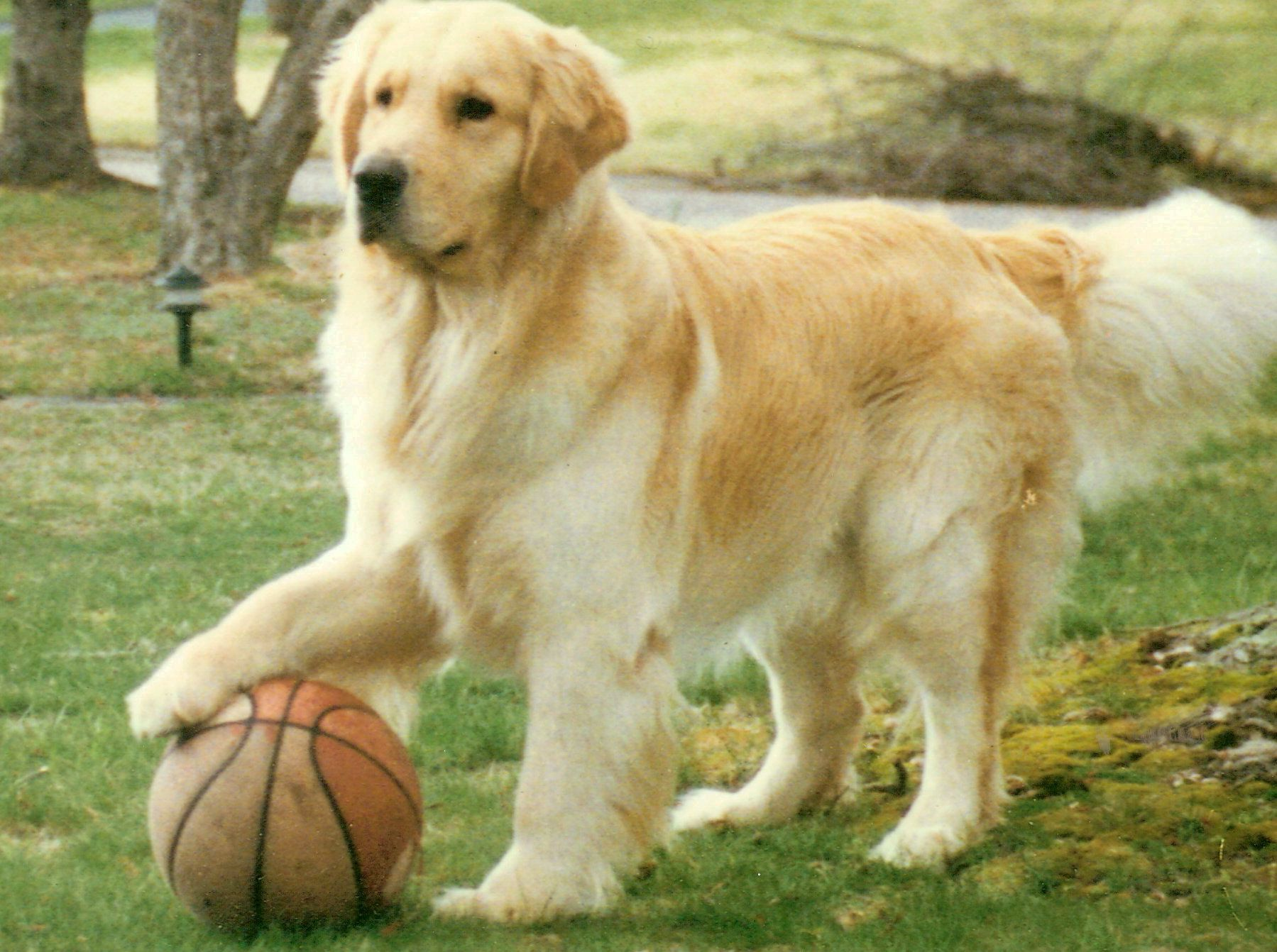 Oakleaf Goldens Golden Retrievers South Carolina Golden