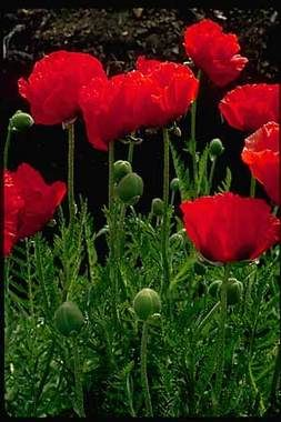 Papaver Poppy Beauty Of Livermore. Large paper-thin petals form a bowl around the Oriental Poppy's dark ornamental centers. Sunlight makes the translucent dark red petals of this Papaver positively glow with color. Tall, huge flowers. The foliage forms a clump that persists over winter in small tufts. The fascinating seedpods will add a nice touch to dried arrangements. The blossoms are a favorite for butterflies, hummingbirds and bees. Spring Shipping only. $8.95