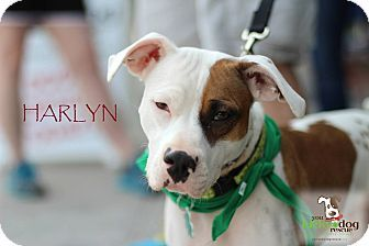 Alpharetta, GA - American Pit Bull Terrier/American Bulldog Mix. Meet Harlyn a Puppy for Adoption.