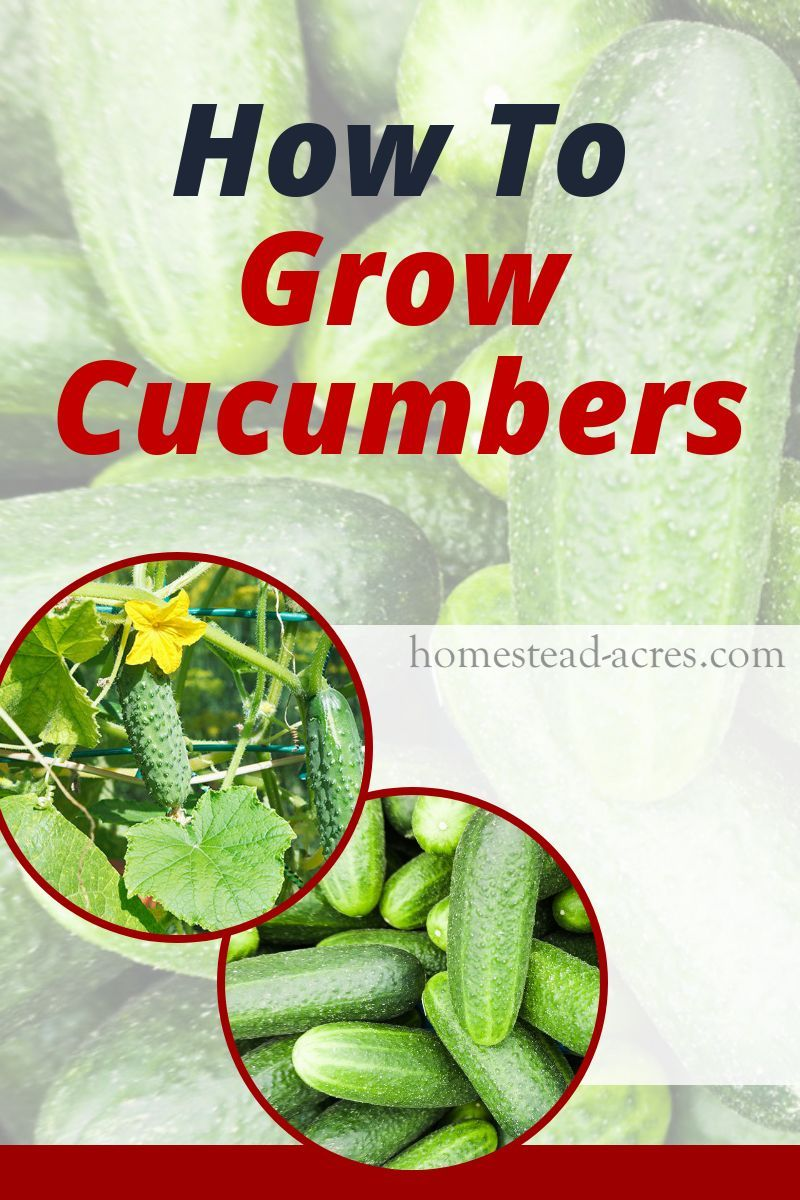 How To Grow Cucumbers (Tips For Growing Cucumbers) is part of Growing cucumbers, Cucumber plant, Cucumber seedlings, When to plant cucumbers, Cucumbers, Backyard vegetable gardens - Learn how to grow cucumbers to enjoy lots of fresh cucumbers all summer! Tips for planting, watering, fertilizing, and harvesting cucumbers