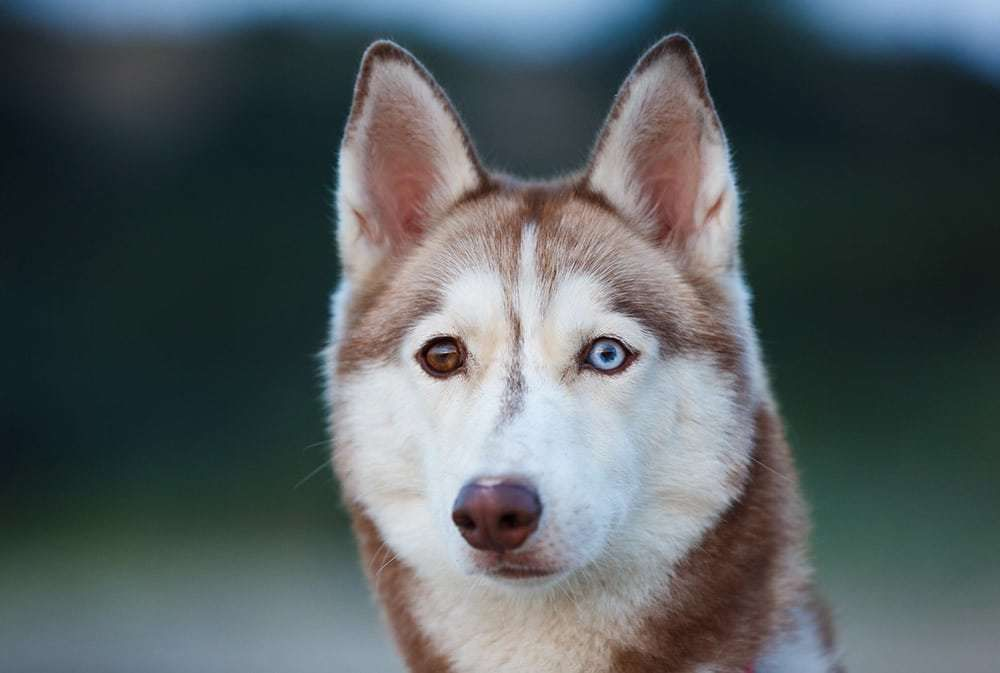 Amazing Facts About The Siberian Husky For Potential Owners