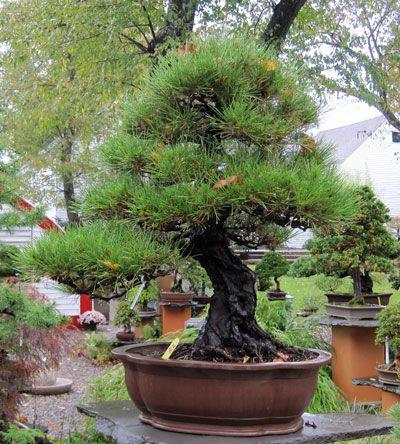 Japanese Black Pine Bonsai Tree Japanese Garden Bonsai