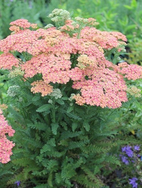 Achillea Peachy Seduction Mail Order Plants Plant Nursery Achillea