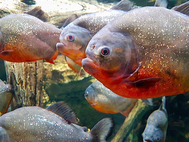 Why You Might Want To Think Twice About Keeping Piranhas As Pets