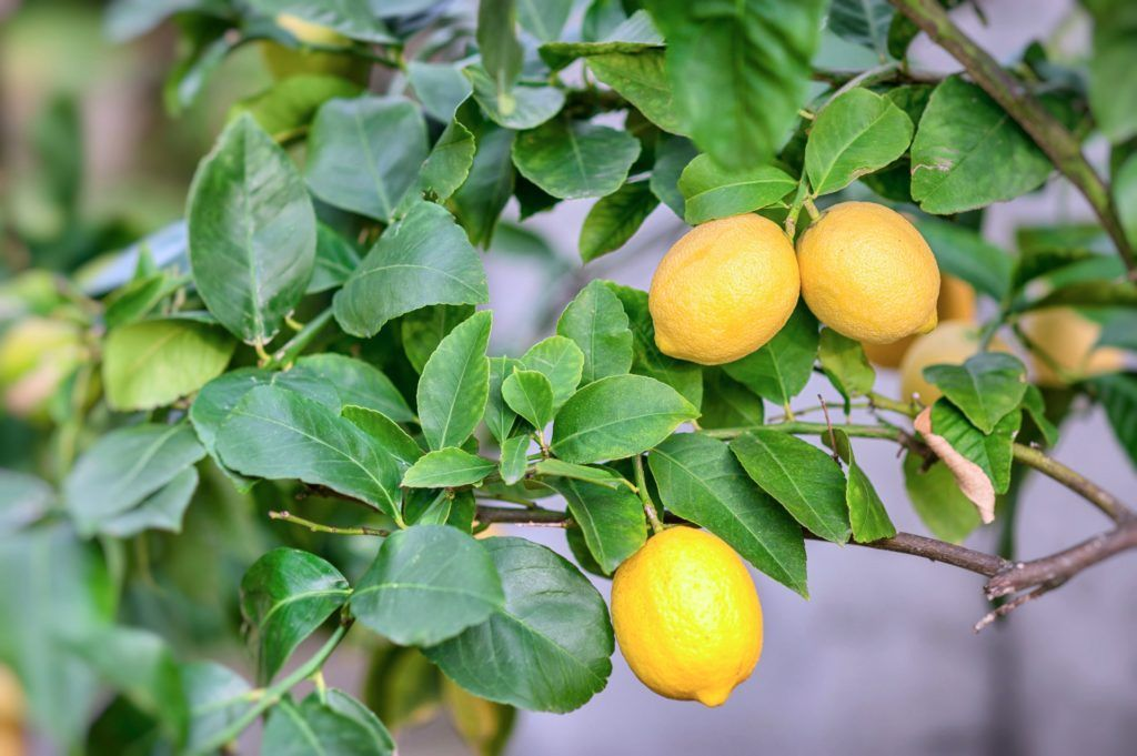 What To Do With Your Meyer Lemons Sonoma Magazine Lemons Magazine Meyer Sonoma In 2020 Fruit Trees Fruit Garden Patio Plants