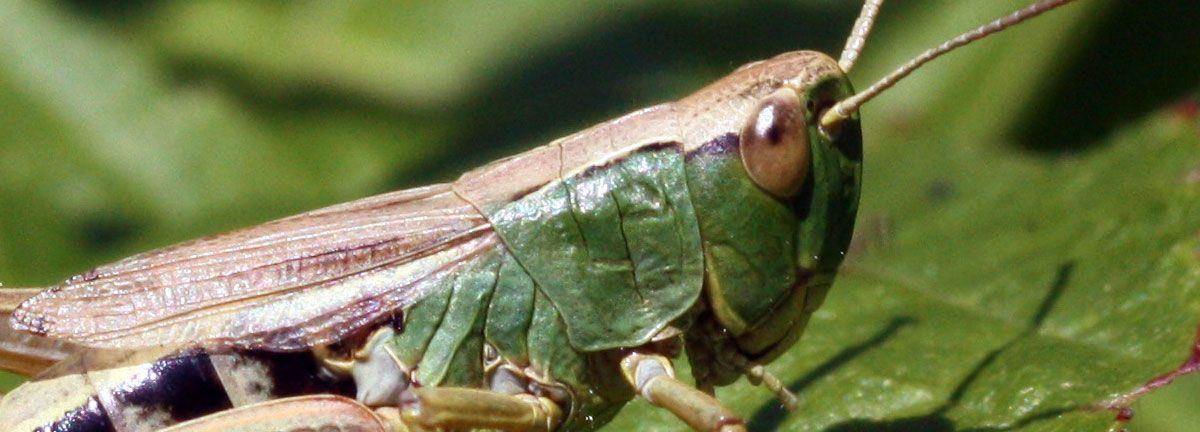 603ceece87567f584dfc258bb069b42b - How To Get Rid Of Grasshoppers On My Plants