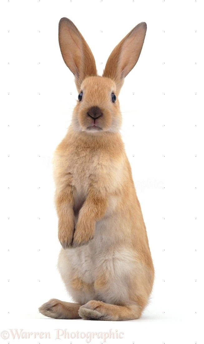 Standing Rabbit Outline