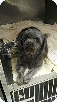 Hazard Ky Shih Tzupoodle Miniature Mix Meet Allie A Dog For