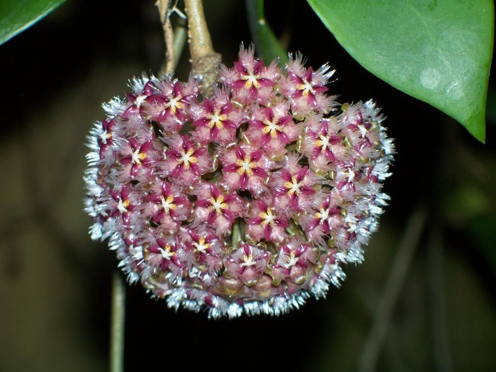 Hoya இڿڰۣ-ڰۣ— ❀ ✿   Mindorensis. Esto es la reproducción Rojo  Profundo.  1