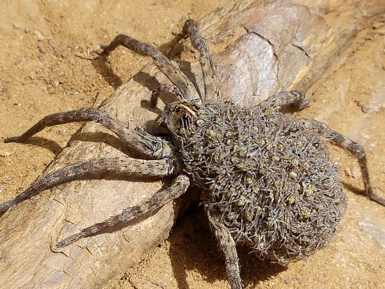 Wolf Spider: pictures, information, classification]