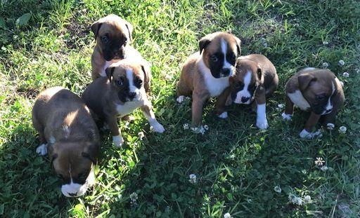 Litter of 6 Boxer puppies for sale in PETERSBURG, VA. ADN