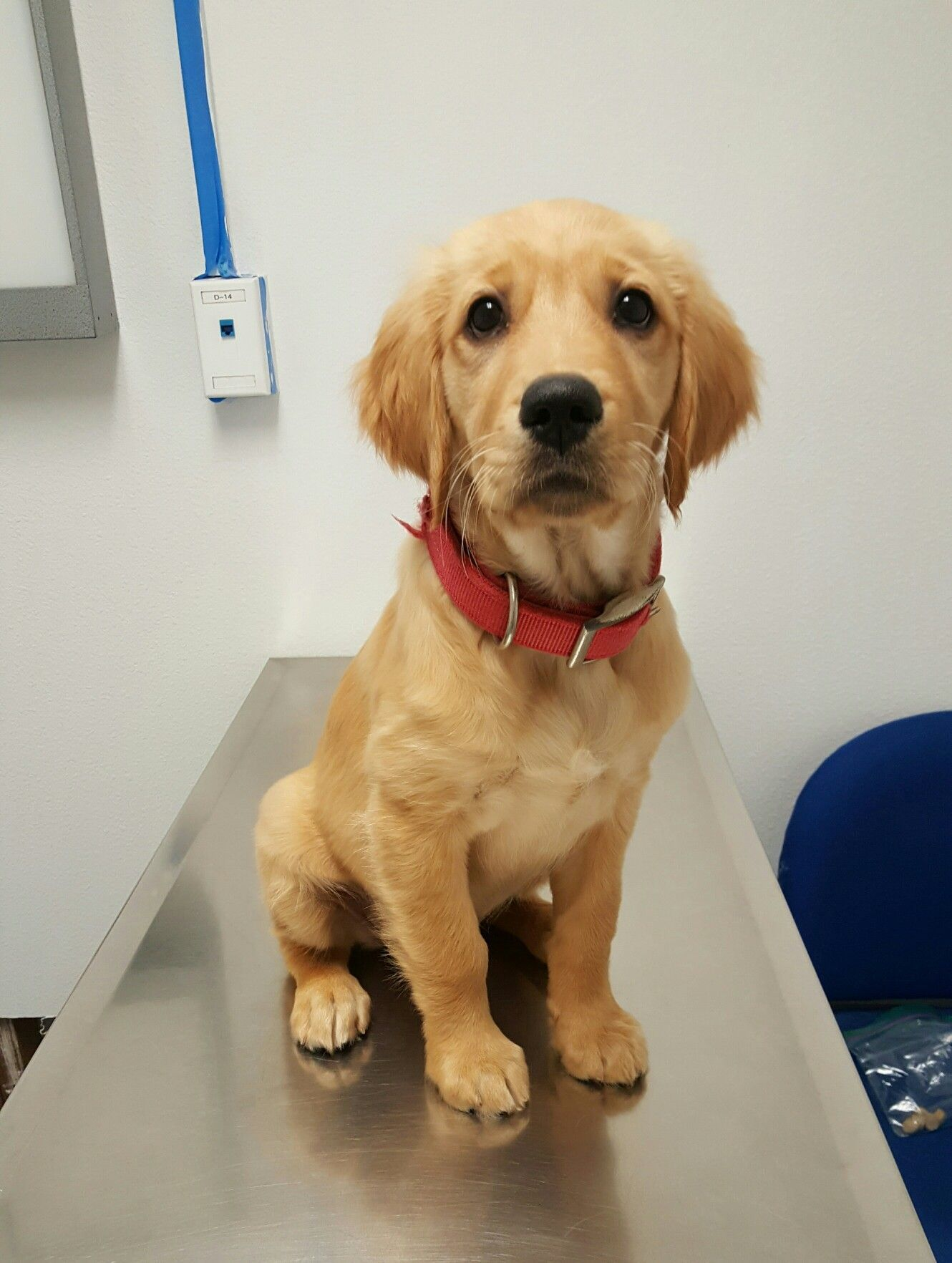 Coco S Fist Time At The Vet Golden Retriever Puppy 3 Months