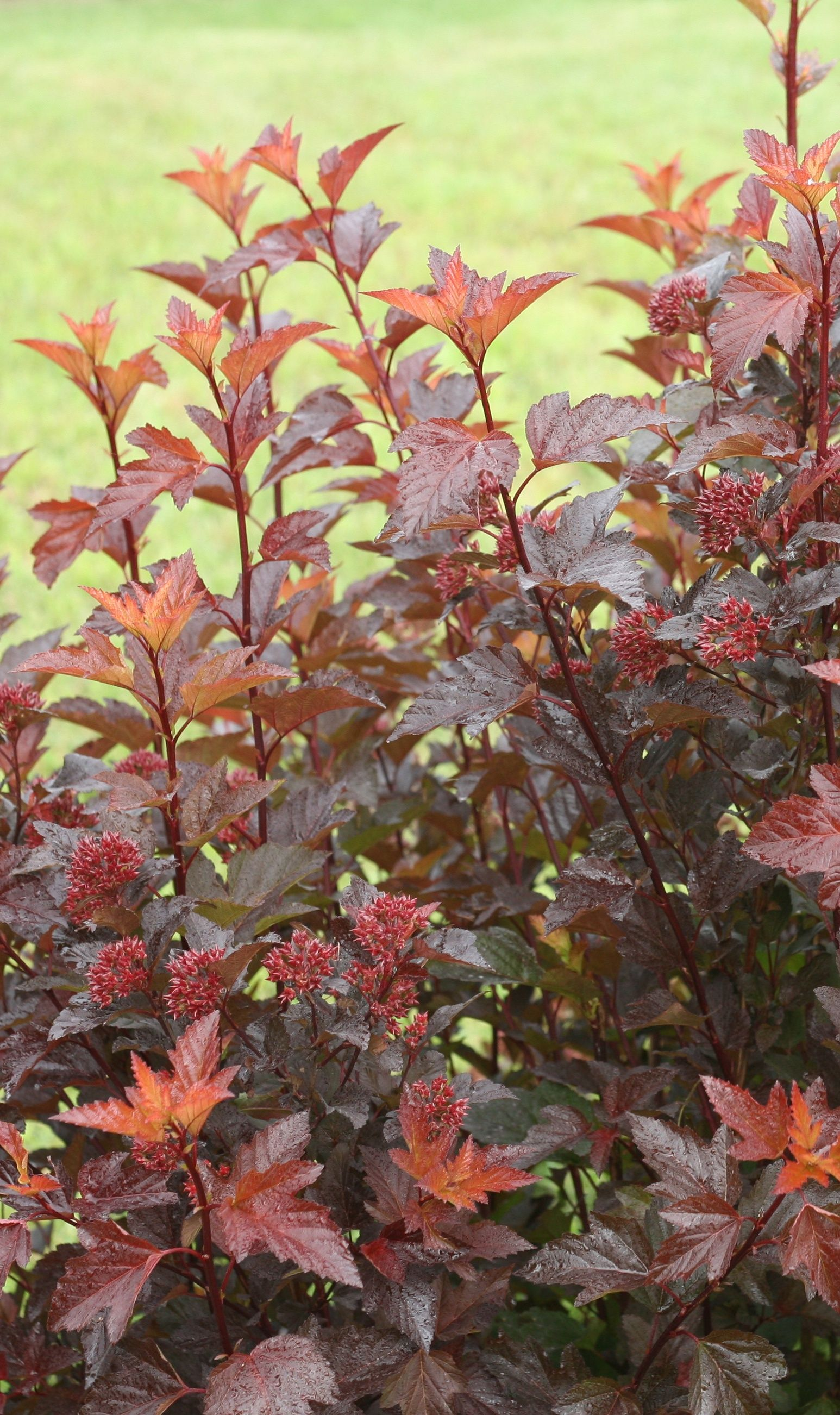 Ginger Wine® - Ninebark - Physocarpus opulifolius | Gardening ...