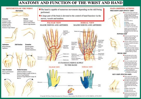 Anatomy Of The Hand And Wrist Google Search Anatomy And