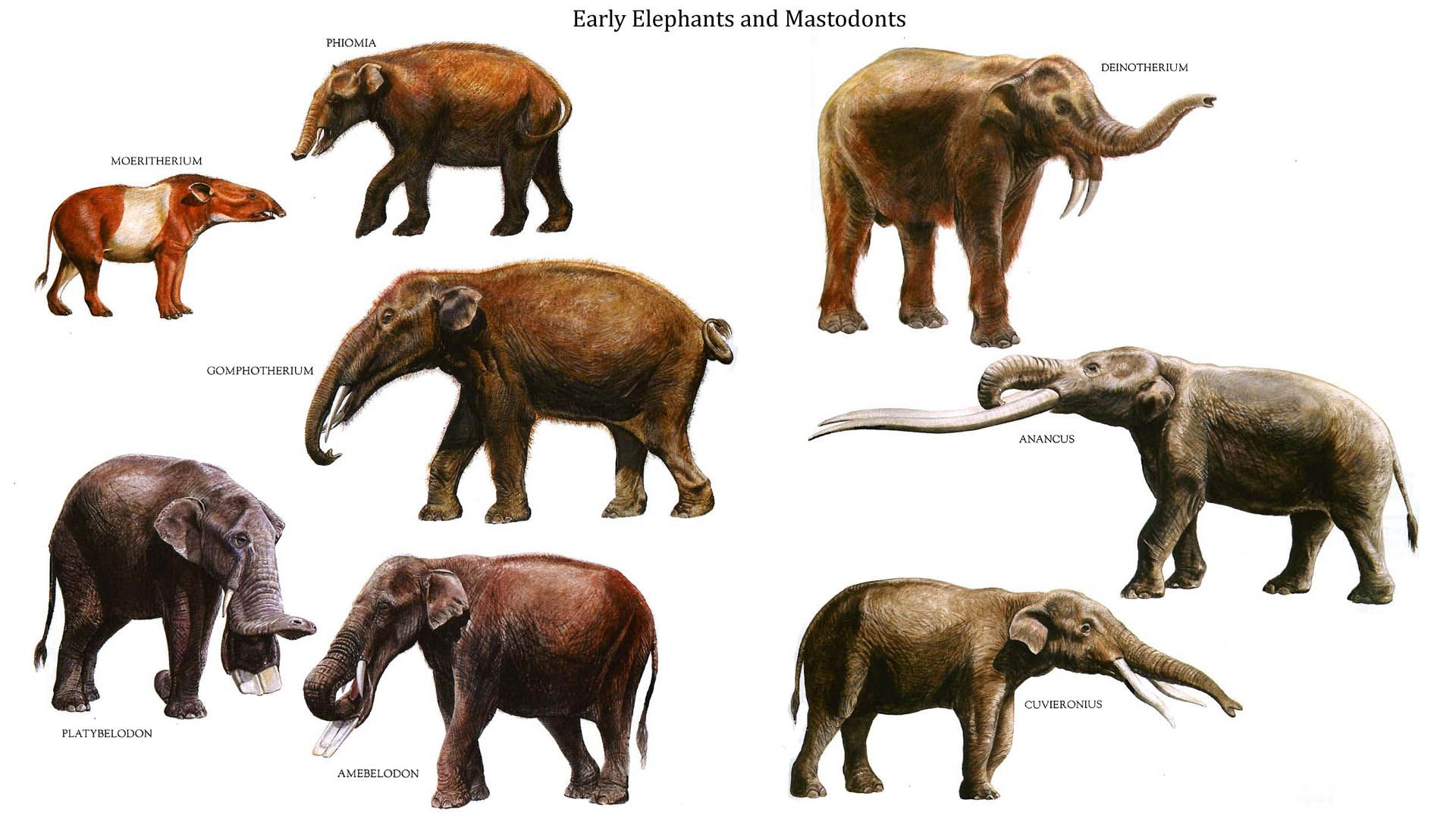 Early Pachyderms. Row 1: Moeritherium, Phomia, Dinotherium ...