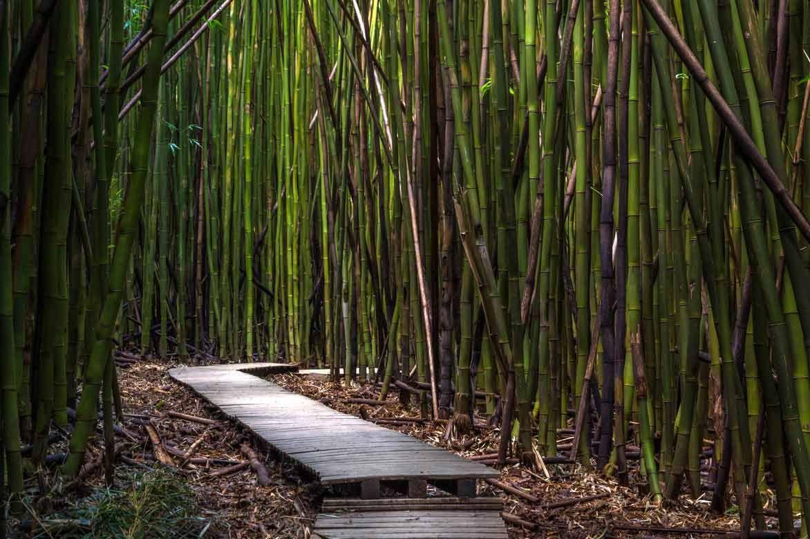 bambous : planter, tailler, entretenir