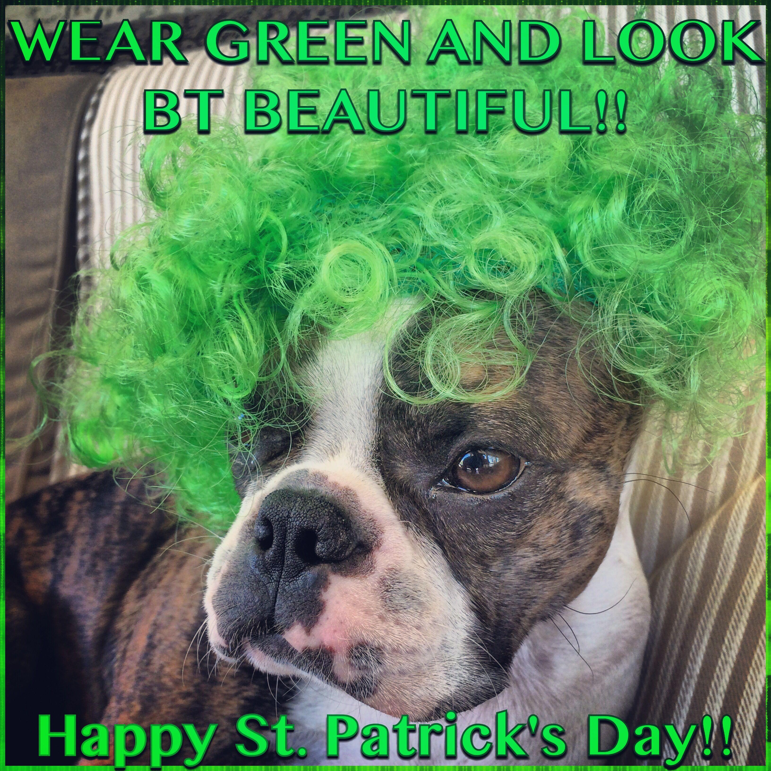 Boston Terrier Beauty On St Patrick S Day A Meme For The Green Boston Terrier Funny Boston Terrier Boston Terrier Dog