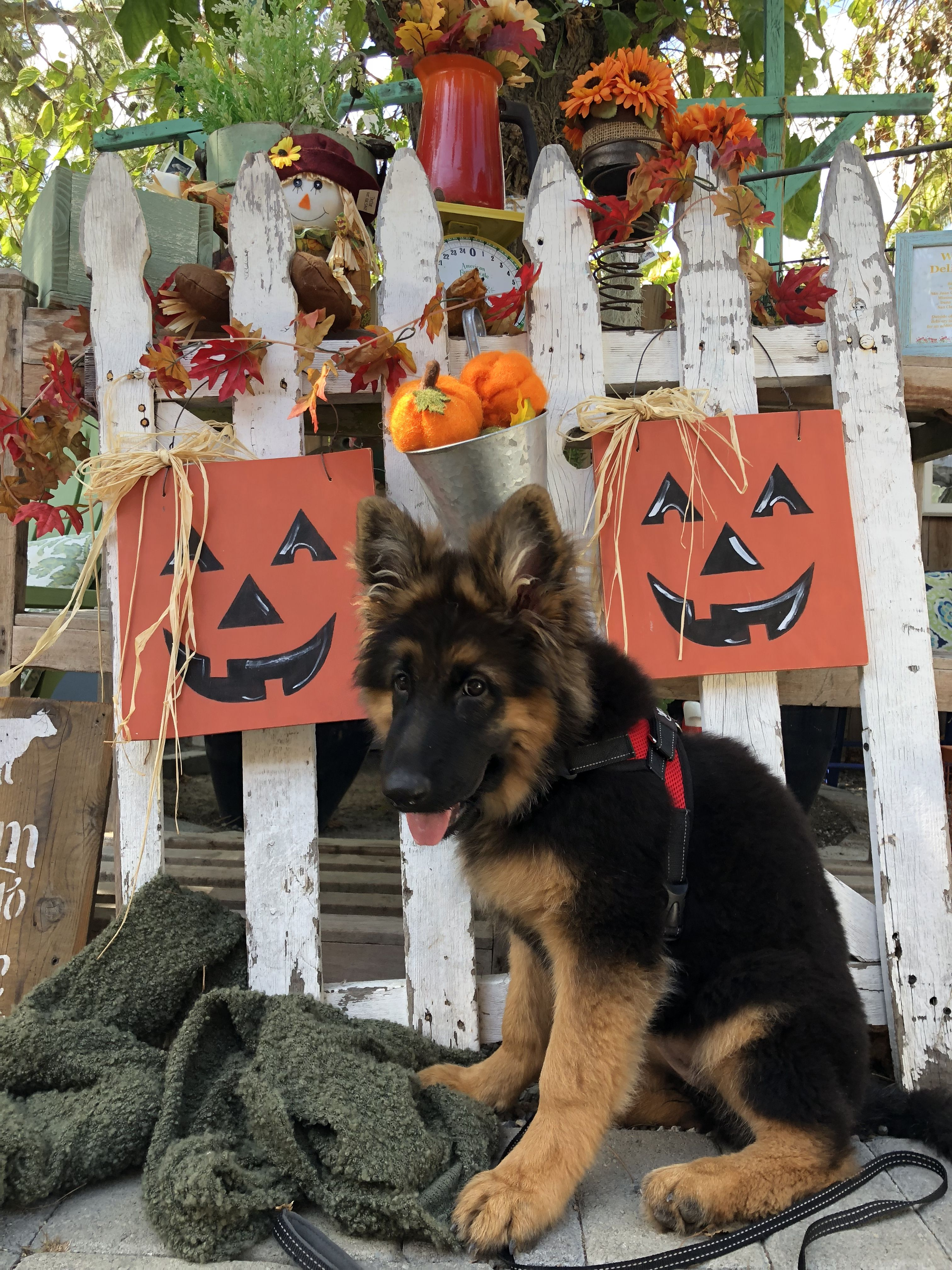 Fall Is Here Germanshepherdpuppy Germanshepherd Dogs Follow