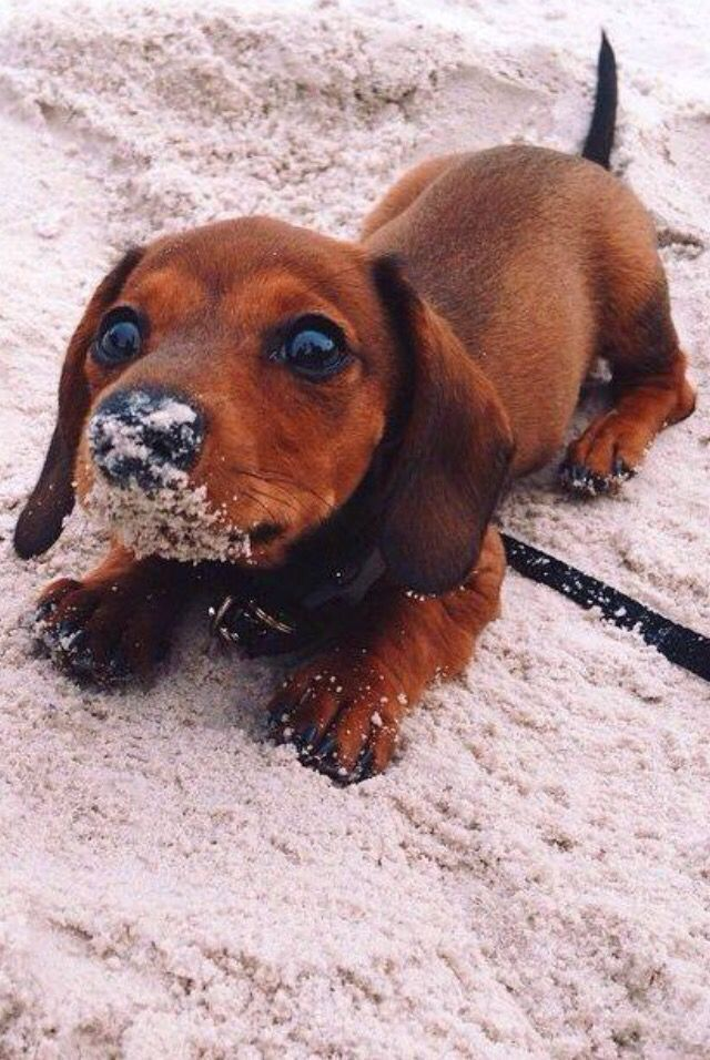 Nur #a #teckel #in #the #sand … #dog # #dogs #puppy #puppy # doggy # dog #animalesbebébonitos