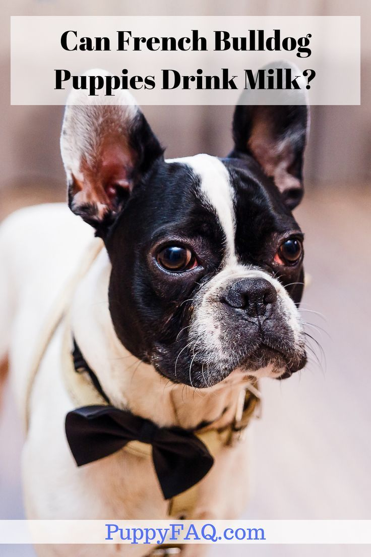 Though French Bulldogs Puppies Find It Difficult To Digest Milk You Can Try And Feed Them Small French Bulldog Puppies Bulldog Puppies Bulldog Puppy Training