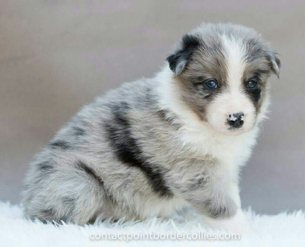 Blue Merle Tri Border Collie Puppy 4 Weeks Old Collie Puppies