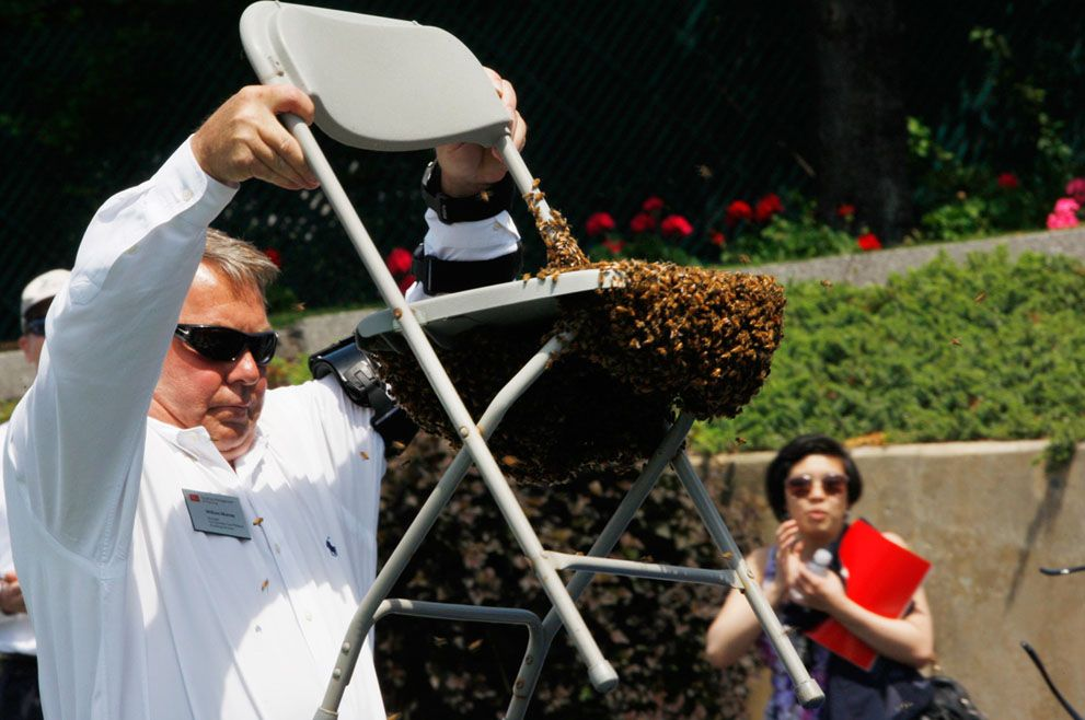 William Murray, a Boston University manager in Facilities Management and Planning and beekeeper, removes a chair covered in a swarm of bees at Boston University Commencement 2012 in Boston, Massachusetts, on May 20, 2012. (Reuters/Jessica Rinaldi)