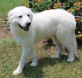 Diva 18605 Is An Adoptable Great Pyrenees Dog In Prattville Al