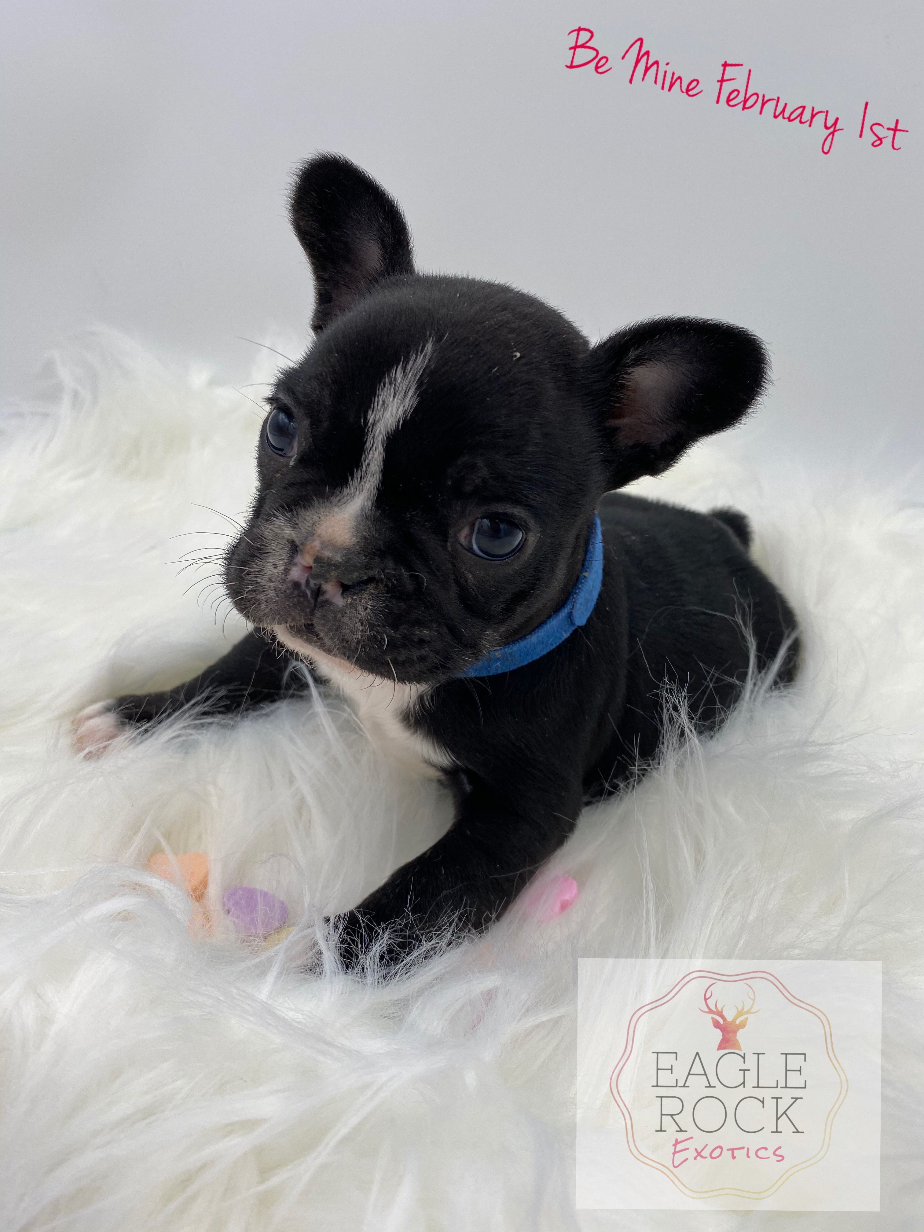 Breed French Bulldog Gender Male Registry AKC