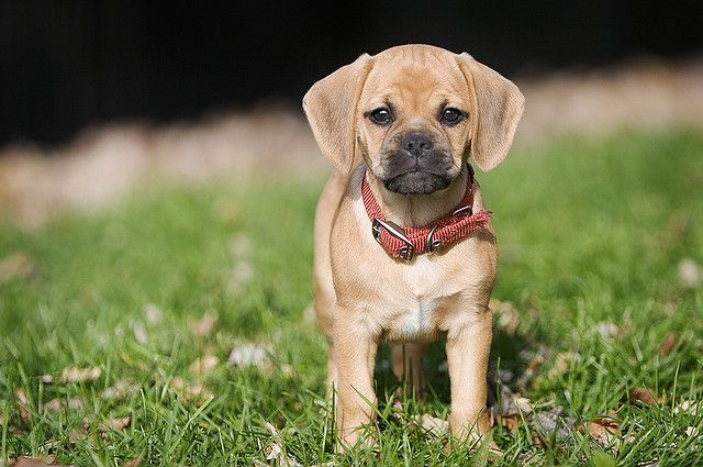 Puggle Very Cute Puppies Puggle Puppies Puggle Dogs