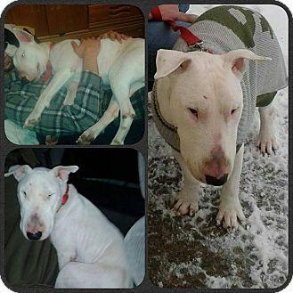 Bridgeport Ct Bull Terrier Meet Eli A Dog For Adoption Dog