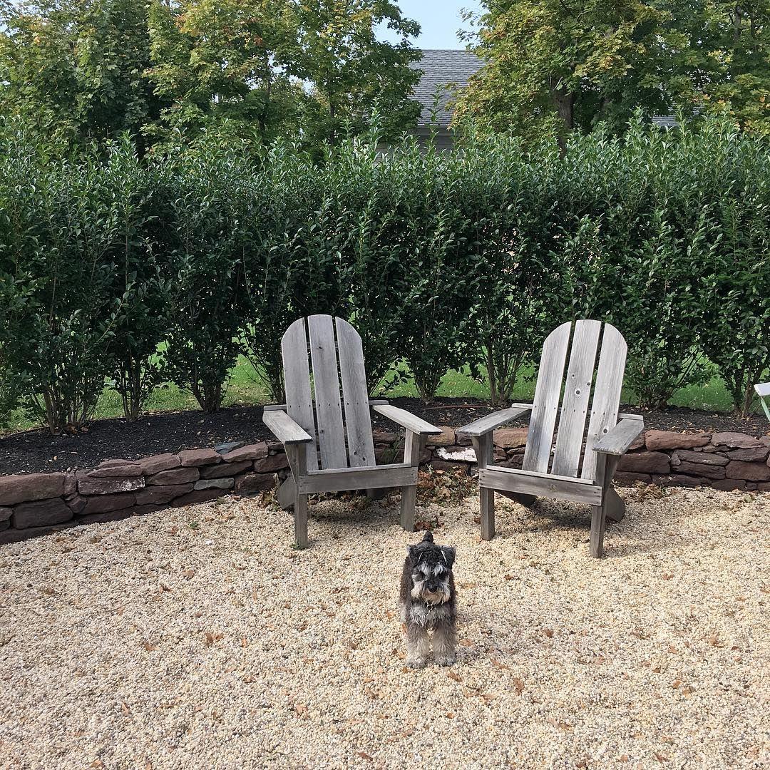 Otto on the move #sundayfunday #miniatureschnauzer #mysidekick #therapydog