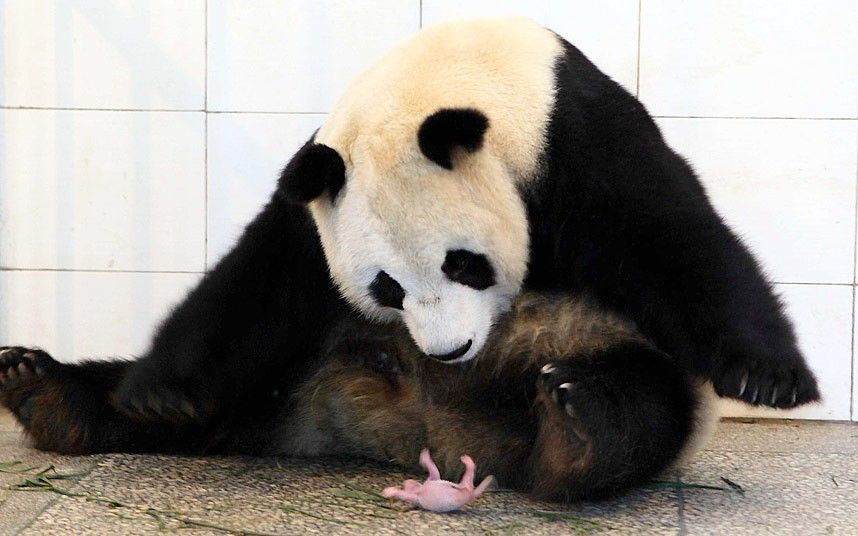 Animal photos of the week: 4 July 2014 | Giant pandas ...