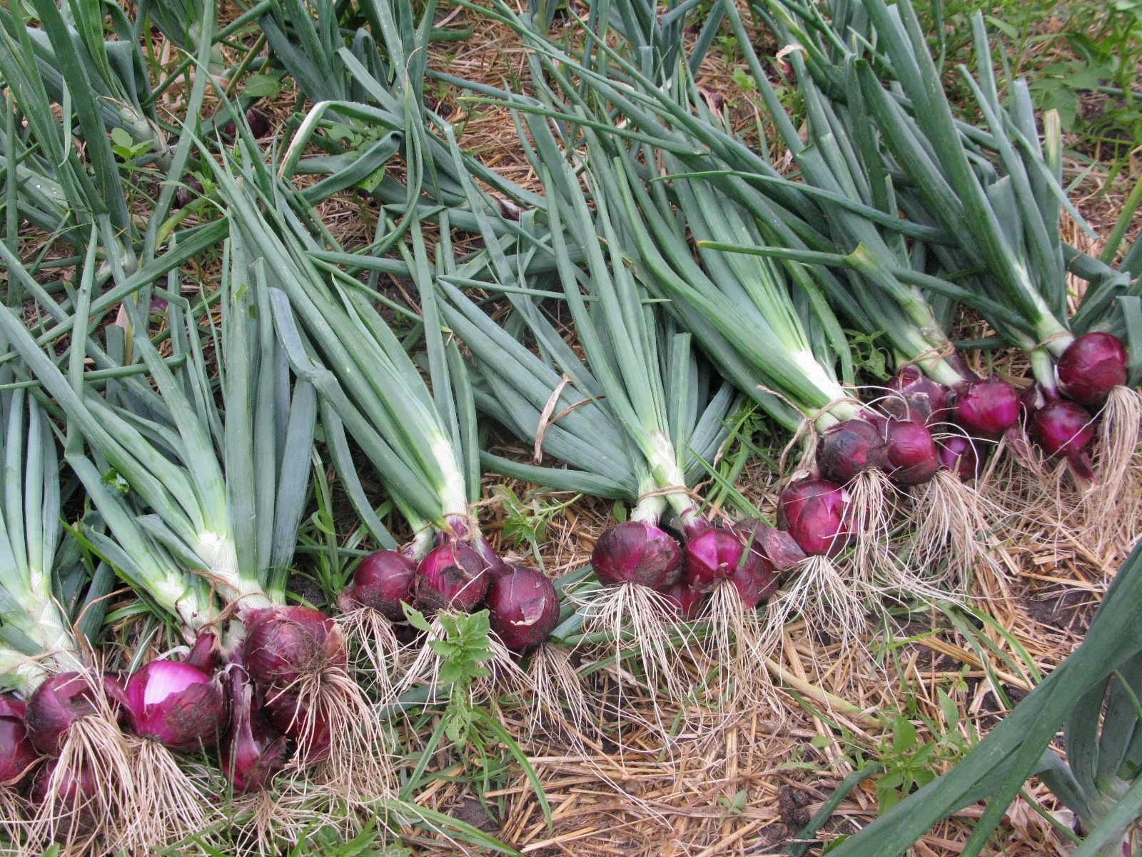 Tiered onions: planting, care, breeding 73
