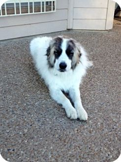 Mckinney Tx Great Pyrenees Akita Mix Meet Blue A Dog For