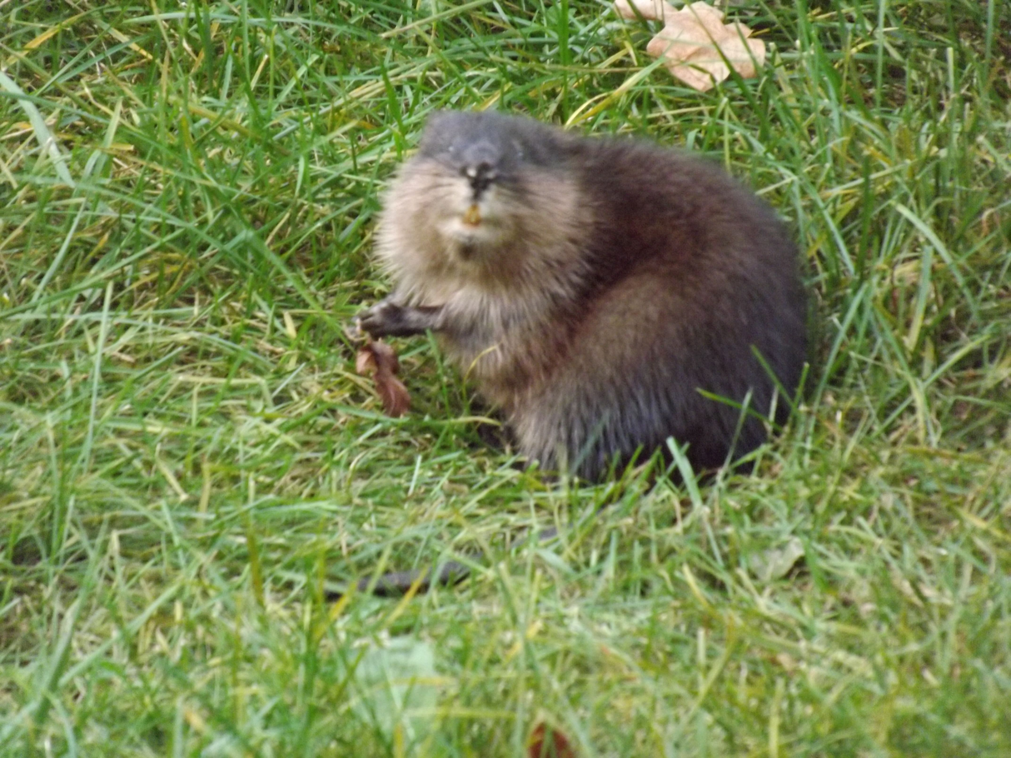 this little muskrat stopped to pose for the camera while munching