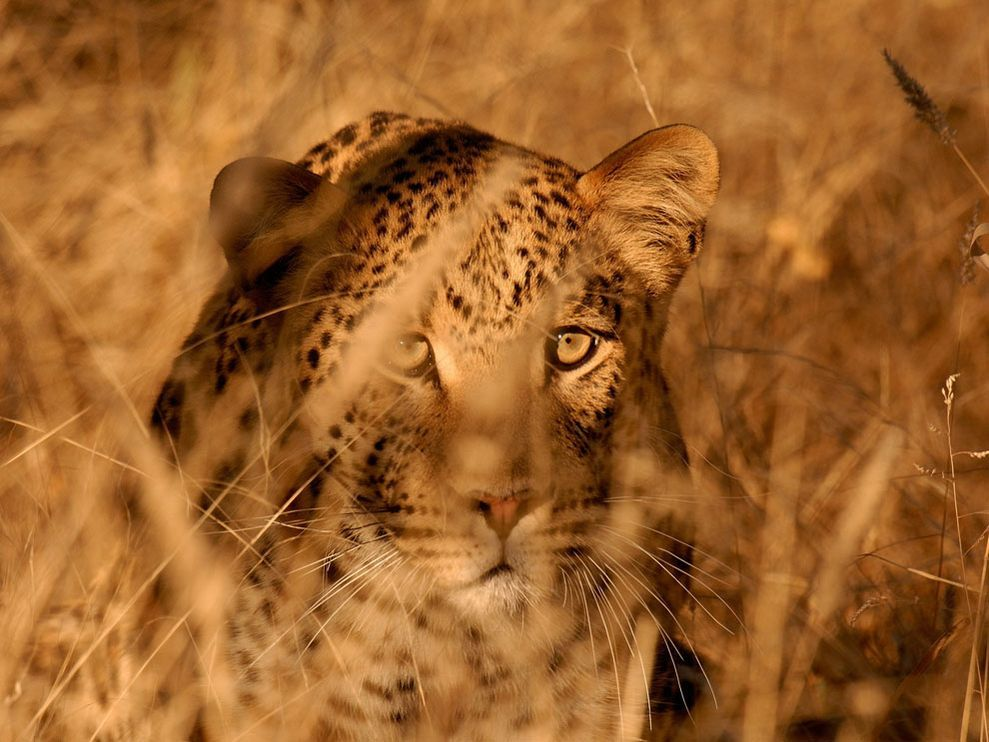 Leopard In Tall Grass Namibia National Geographic Animals Dangerous Animals Animals Of The World
