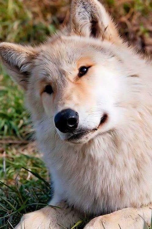Картинка волка милые