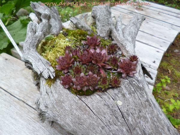 Root Planters - unique rustic garden crafts to display succulents