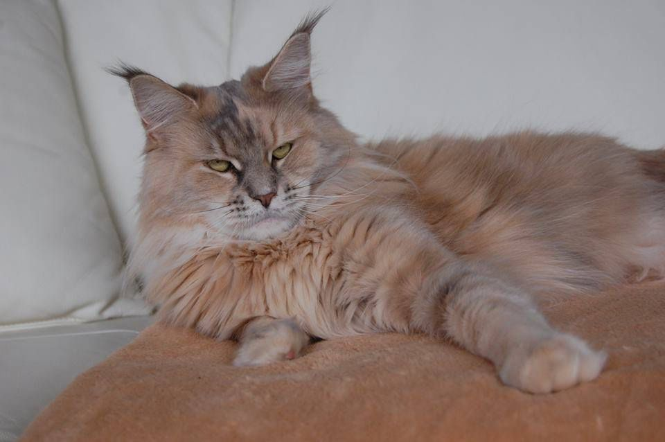 Pin on felinesmaine coon cat norwegian forest cat