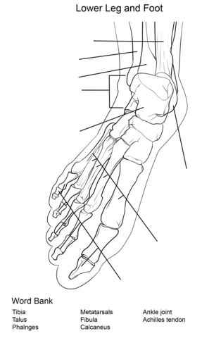 Foot Bones Anatomy Worksheet Coloring page   Educational ideas ...
