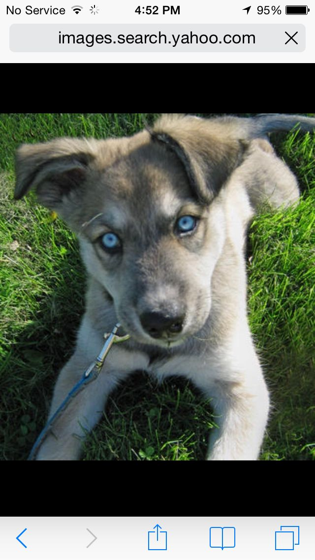 Grey Lab Husky Mix German Shepherd Husky Mix German Shepherd