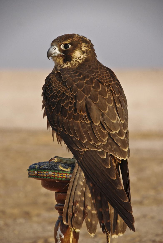 Desert Falcon Desert Animals Birds Of Prey Pet Birds