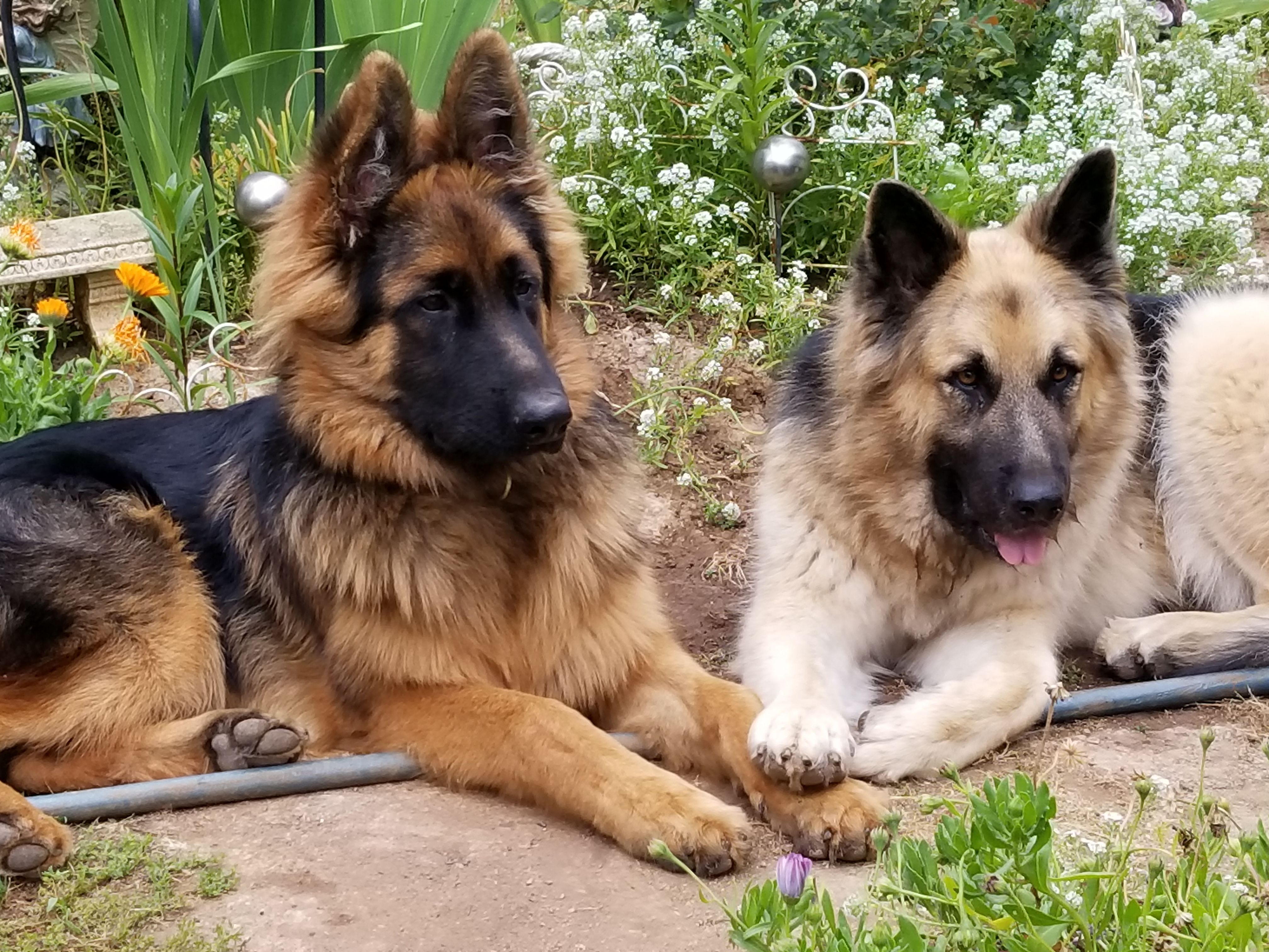 Pin By Mariann Putnam On Our Pets German Shepherd Puppies Dogs