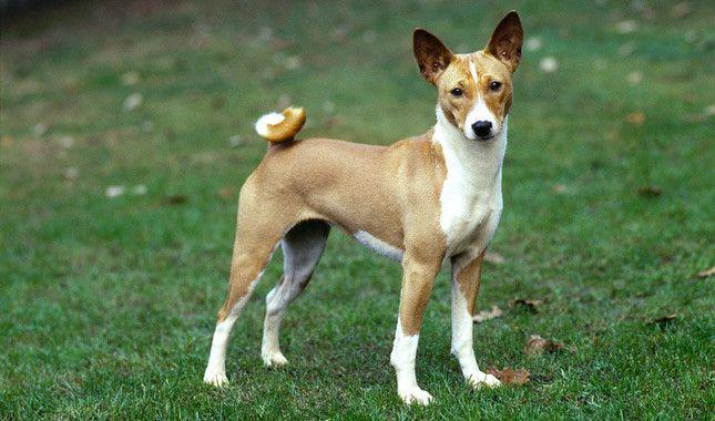 Dog Breeds Beginning With B Basenji Http Www Pindoggy Com Pin