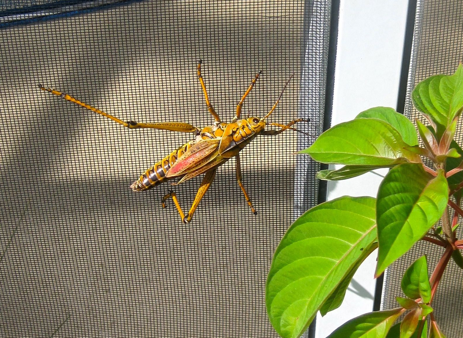 The adult Eastern Lubber Grasshopper can't fly and can barely hop! We'll start seeing more of these this month and in July. They are pretty little works of art, so just leave them alone if they aren't bothering your plants.