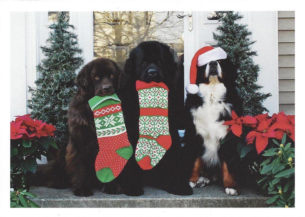 2 Newfs A Berner Sold Individually Christmas Dog Dog Christmas Card Cool Pets